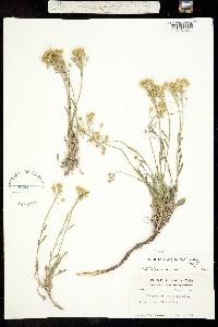 Image of Lesquerella ovalifolia