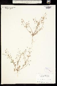 Image of Physaria recurvata