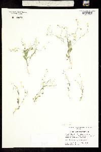 Physaria recurvata image