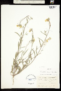 Image of Physaria sessilis