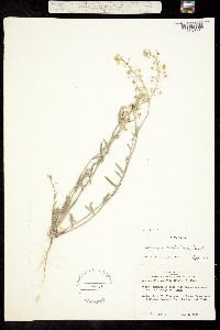 Physaria sessilis image