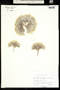 Physaria tumulosa image