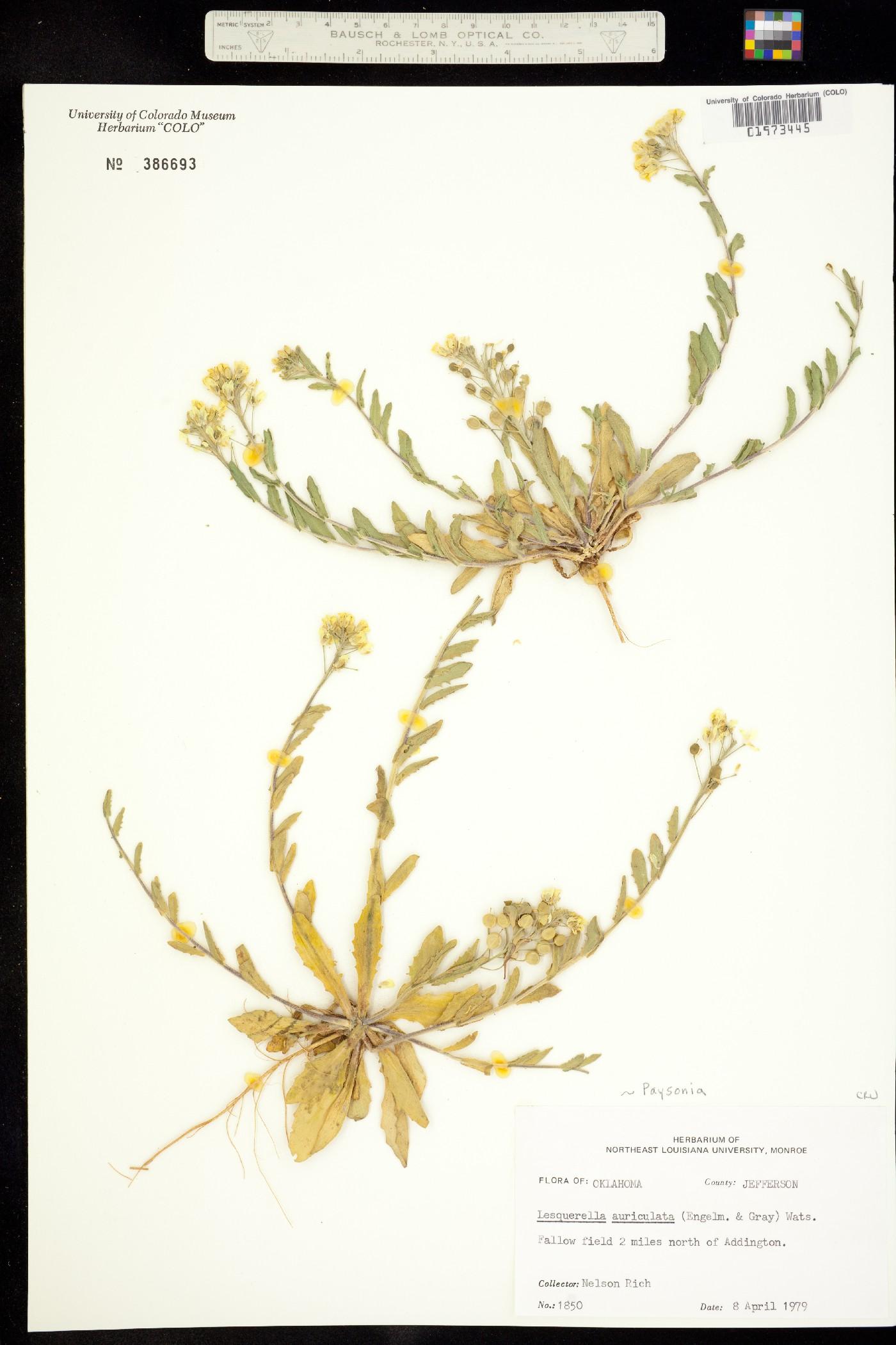 Paysonia auriculata image