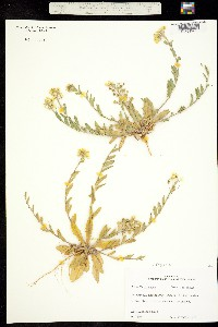 Image of Lesquerella auriculata