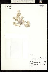 Image of Physaria cordiformis