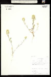 Image of Physaria densiflora