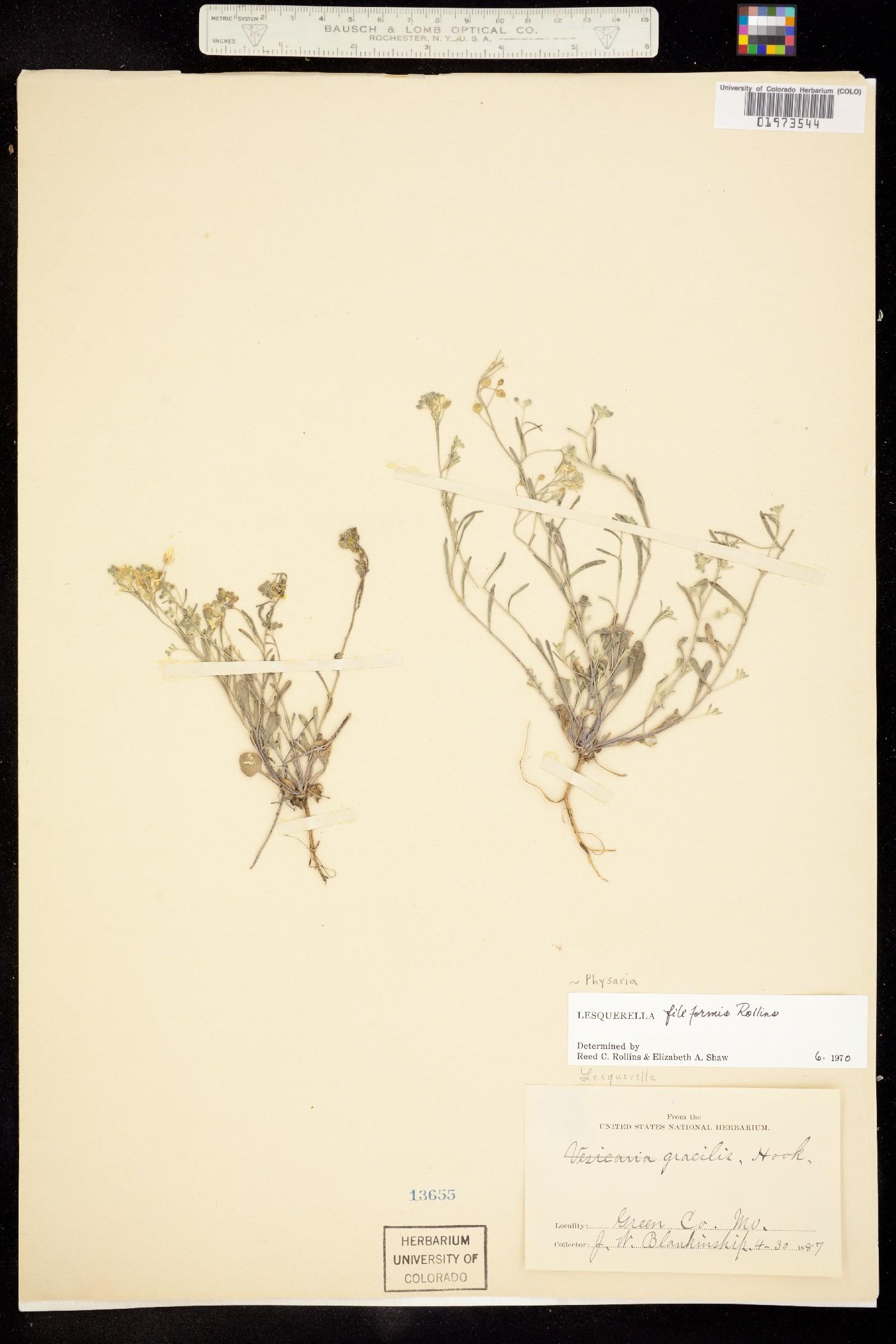 Physaria filiformis image