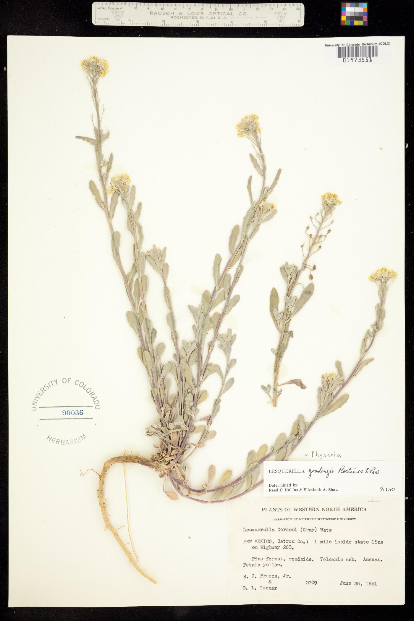 Physaria gooddingii image
