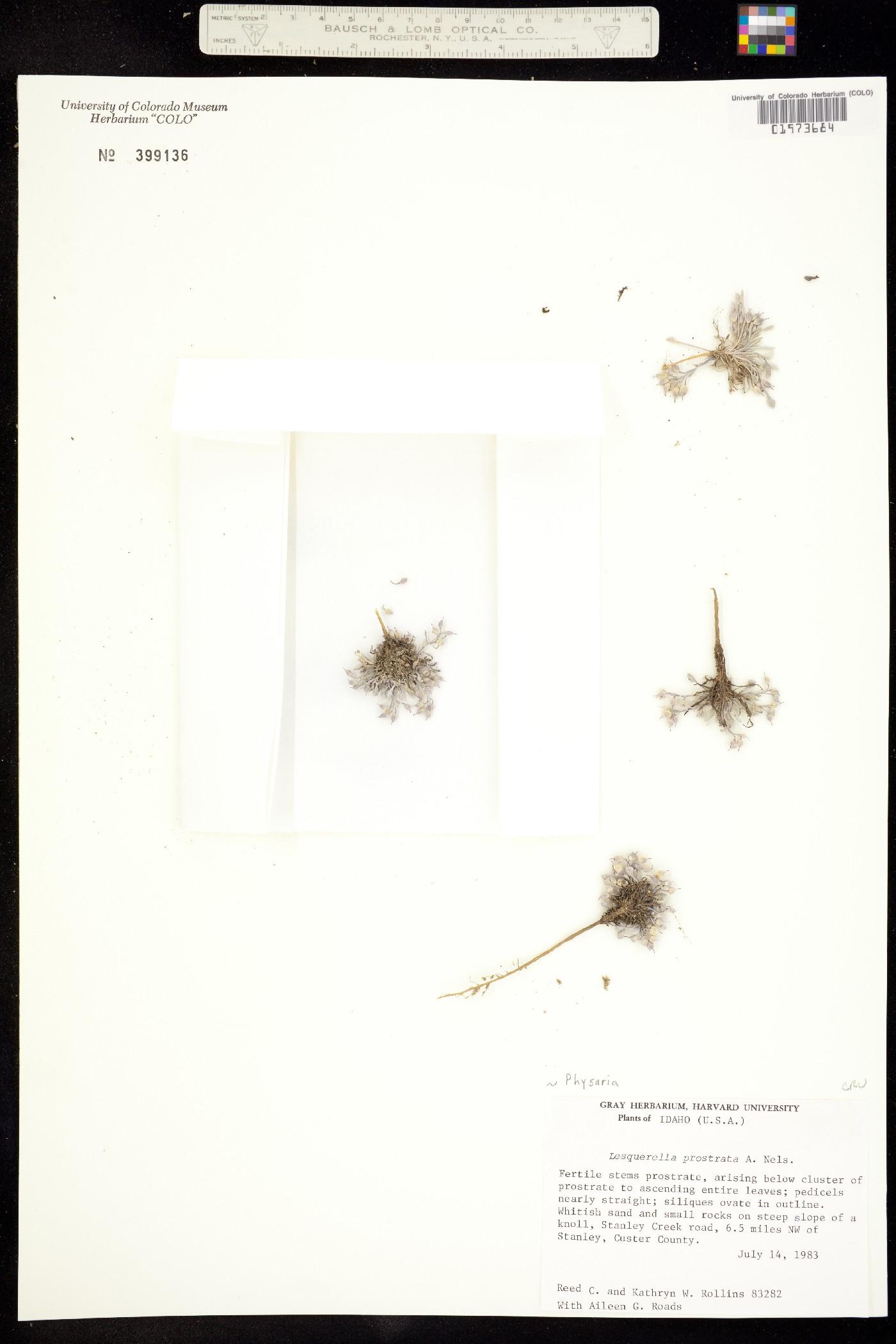 Physaria prostrata image
