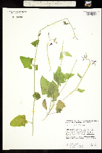 Image of Lyrocarpa xantii