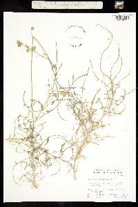 Image of Lyrocarpa linearifolia