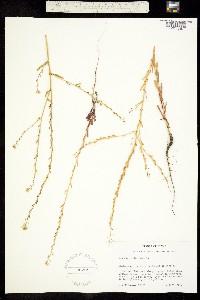 Image of Myagrum perfoliatum