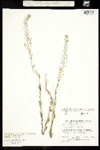 Image of Neslia paniculata