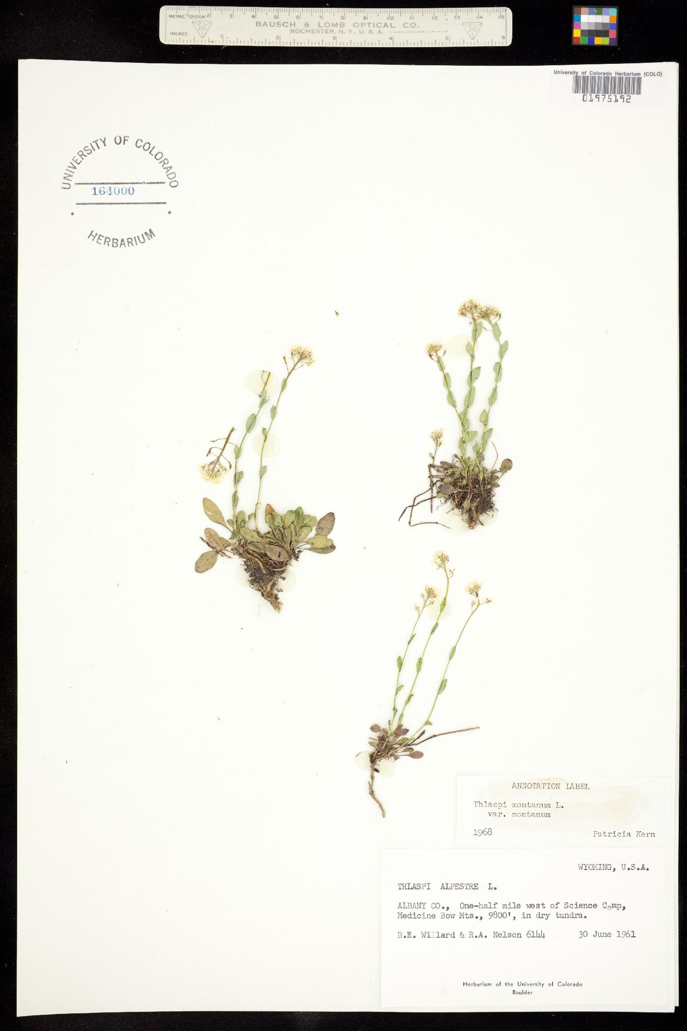 Noccaea fendleri ssp. glauca image