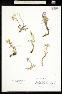 Image of Parrya arctica