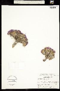 Parrya arctica image