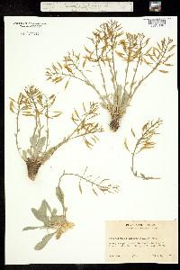Image of Phoenicaulis cheiranthoides