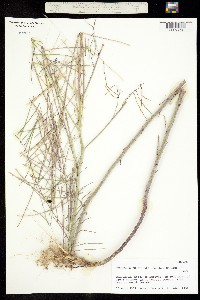 Pennellia longifolia image