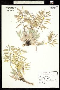 Phoenicaulis cheiranthoides image
