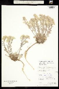Image of Physaria lanata