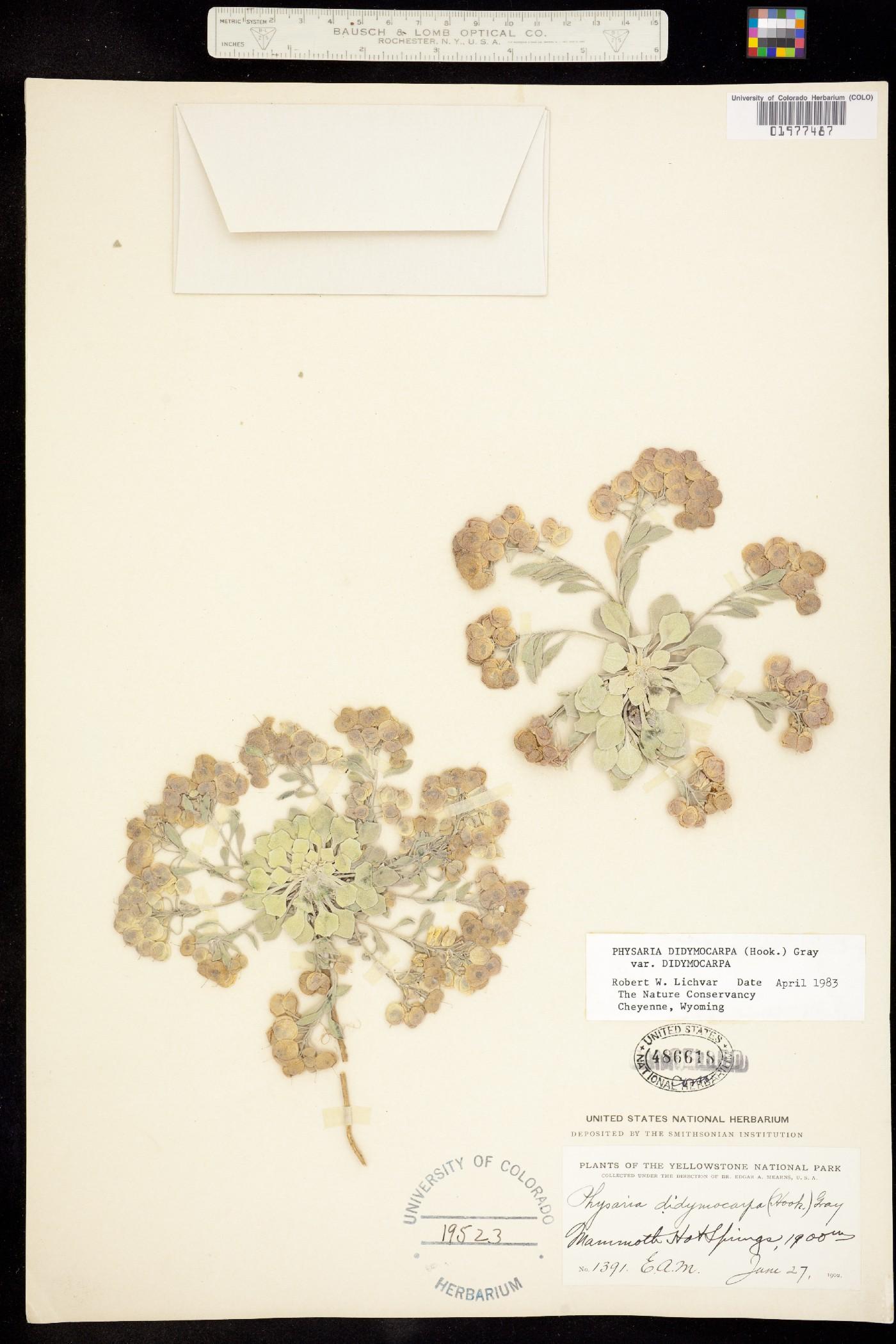 Physaria didymocarpa ssp. didymocarpa image