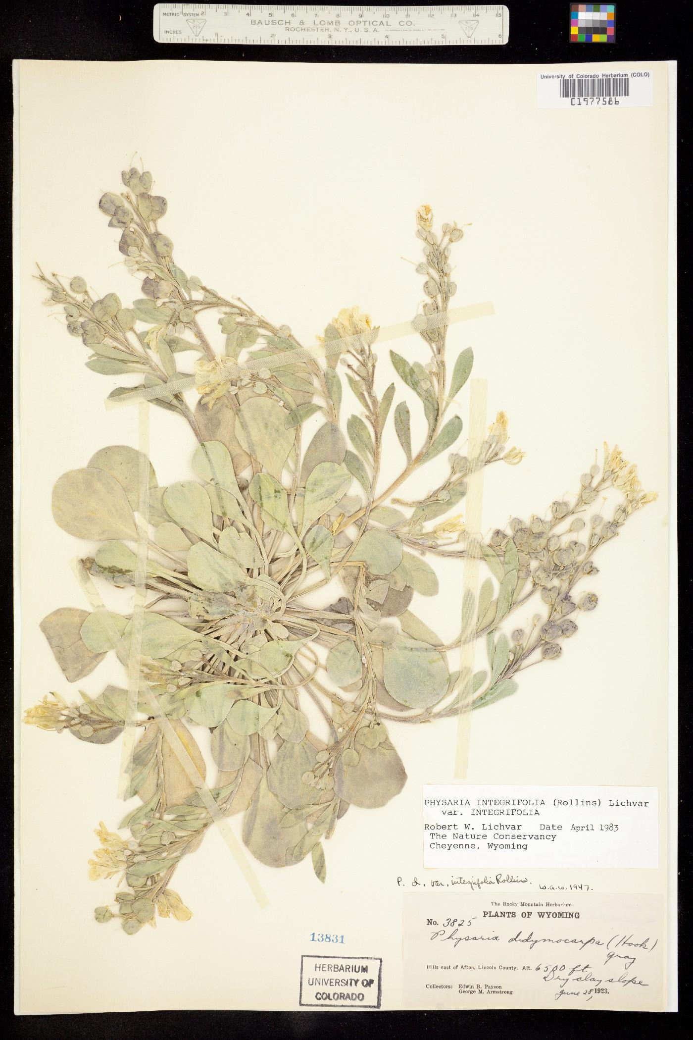 Physaria integrifolia image