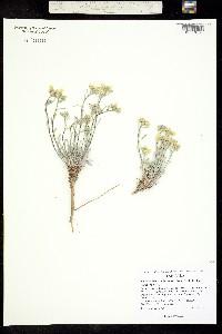 Physaria kingii image