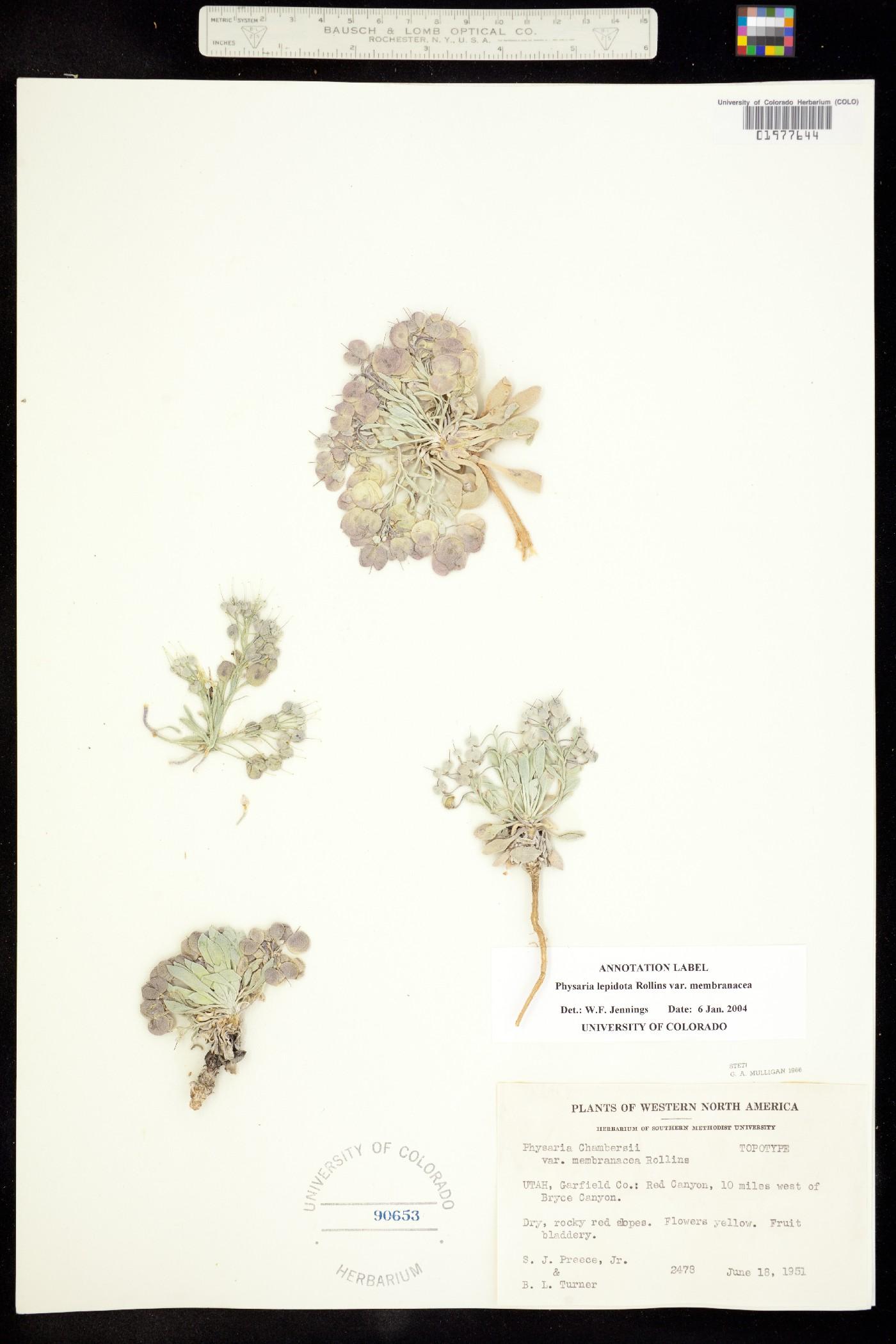Physaria lepidota ssp. membranacea image