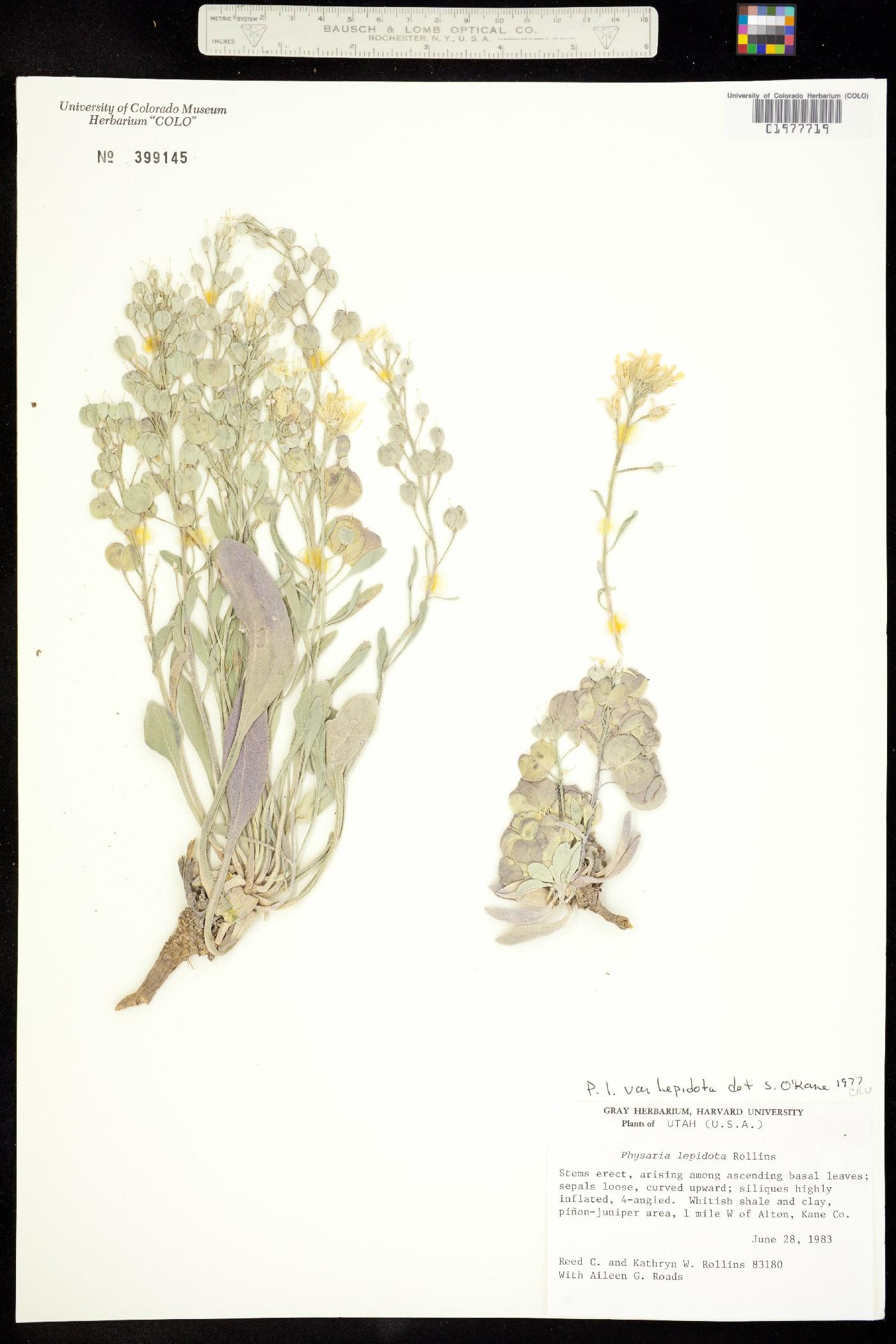 Physaria lepidota ssp. lepidota image