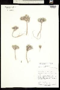 Physaria subumbellata image
