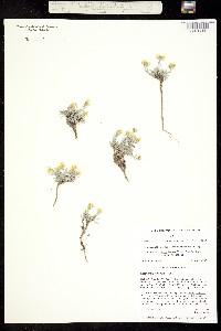 Physaria hitchcockii image