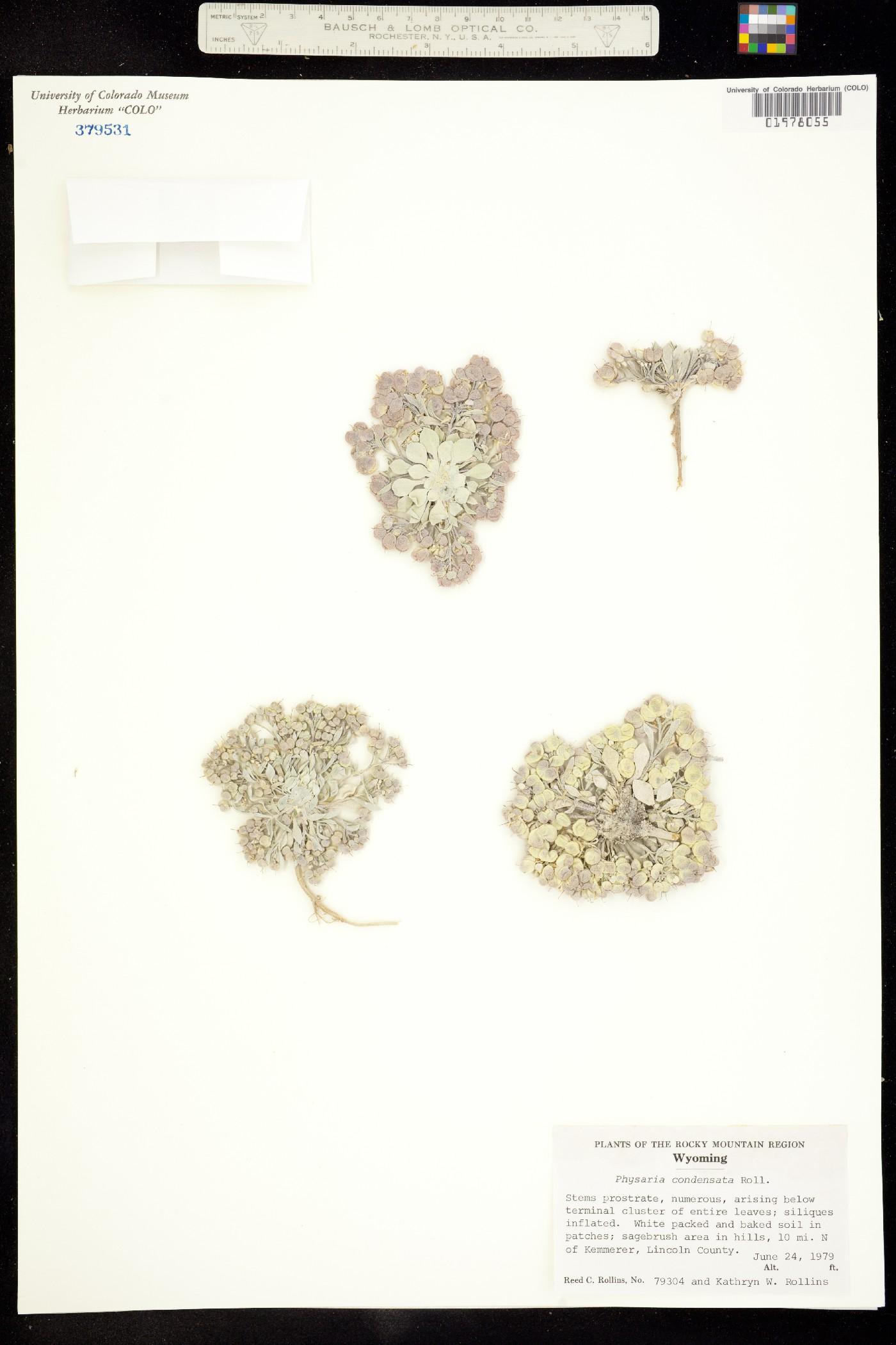 Physaria condensata image