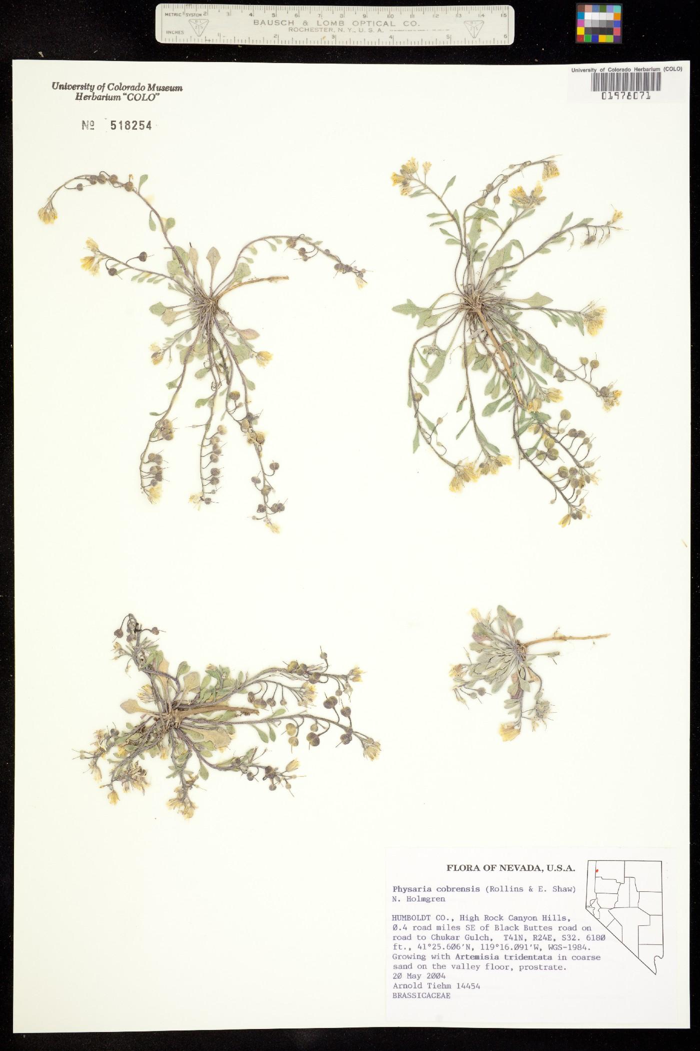 Physaria cobrensis image