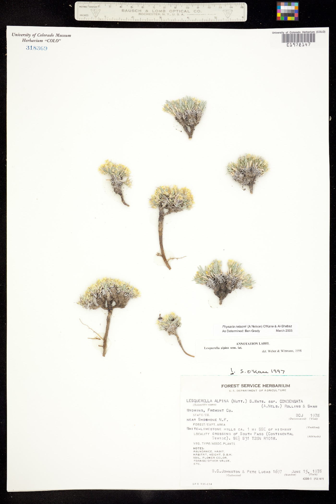 Physaria nelsonii image