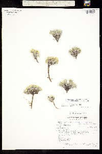 Image of Physaria nelsonii
