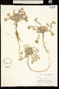 Physaria oregona image
