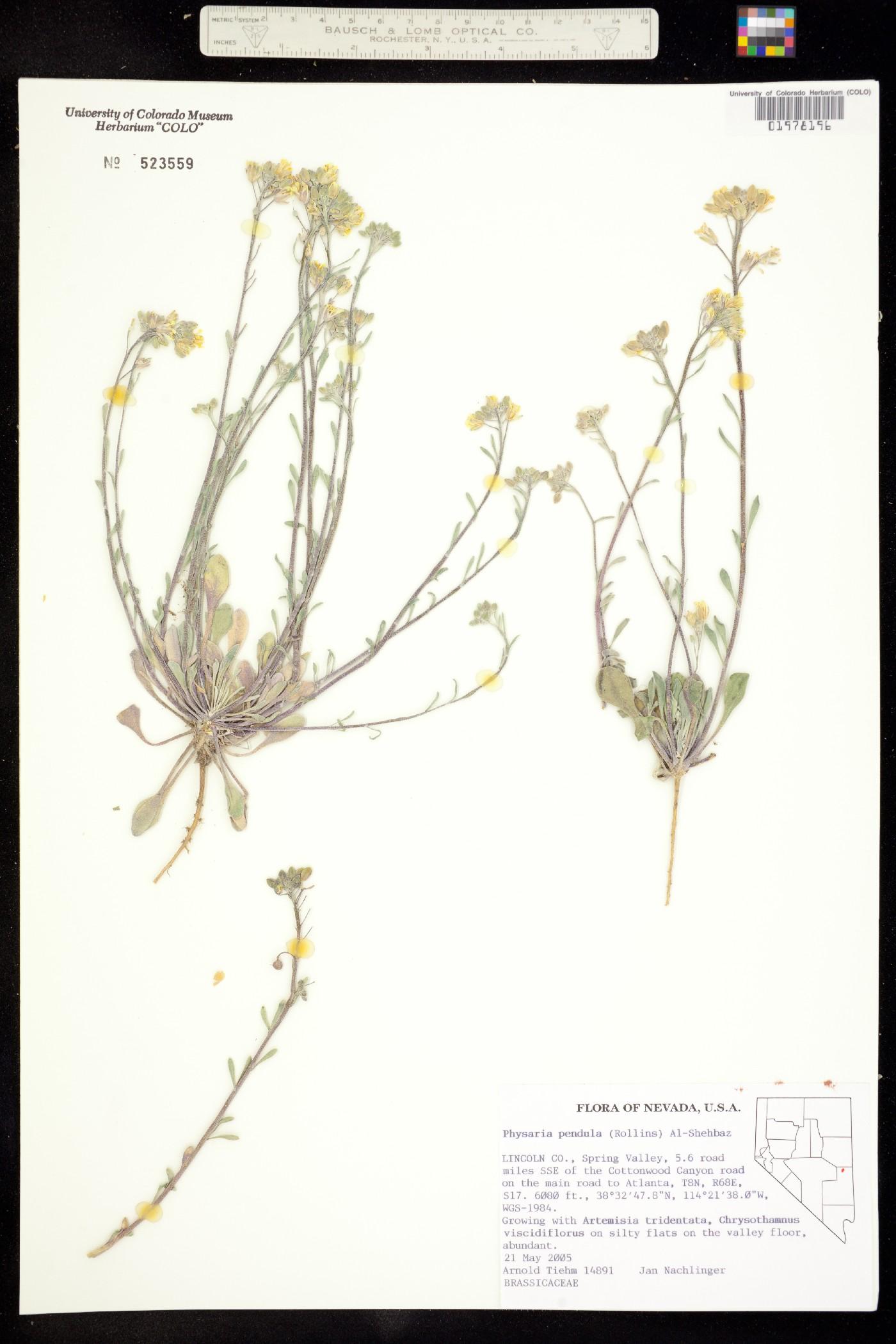 Physaria pendula image