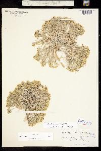 Physaria pycnantha image