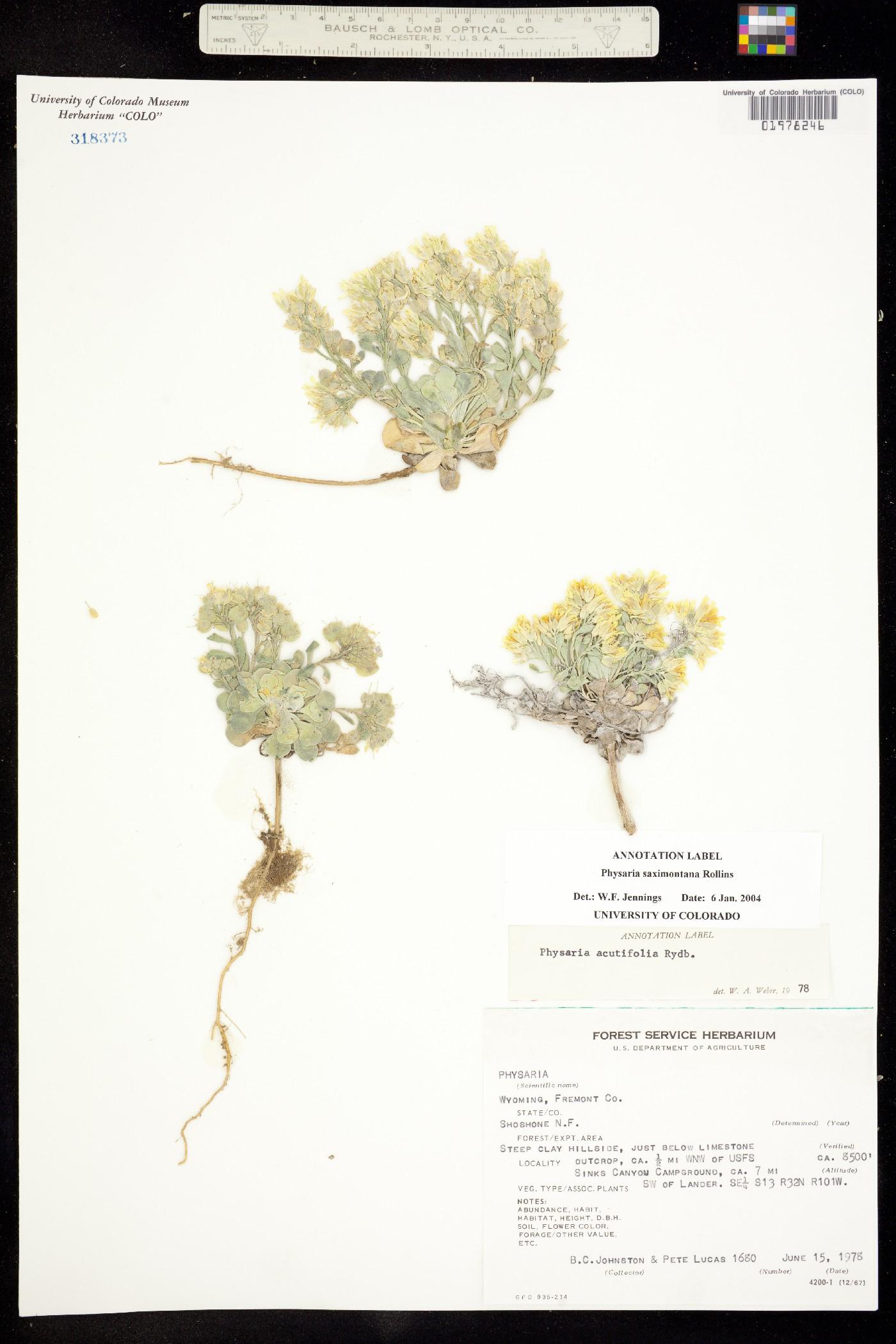 Physaria saximontana image