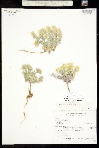 Image of Physaria saximontana