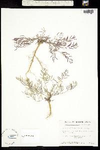 Image of Rorippa curvisiliqua