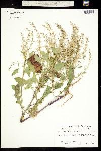 Image of Rorippa sessiliflora