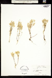 Image of Selenia aurea