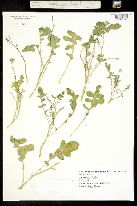 Image of Thelypodium texanum