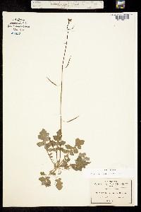 Image of Dryopetalon viereckii