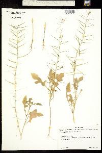 Image of Sisymbrium erysimoides