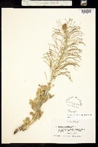 Stanleya viridiflora image