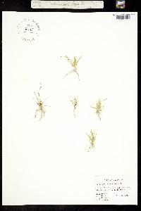 Subularia aquatica image