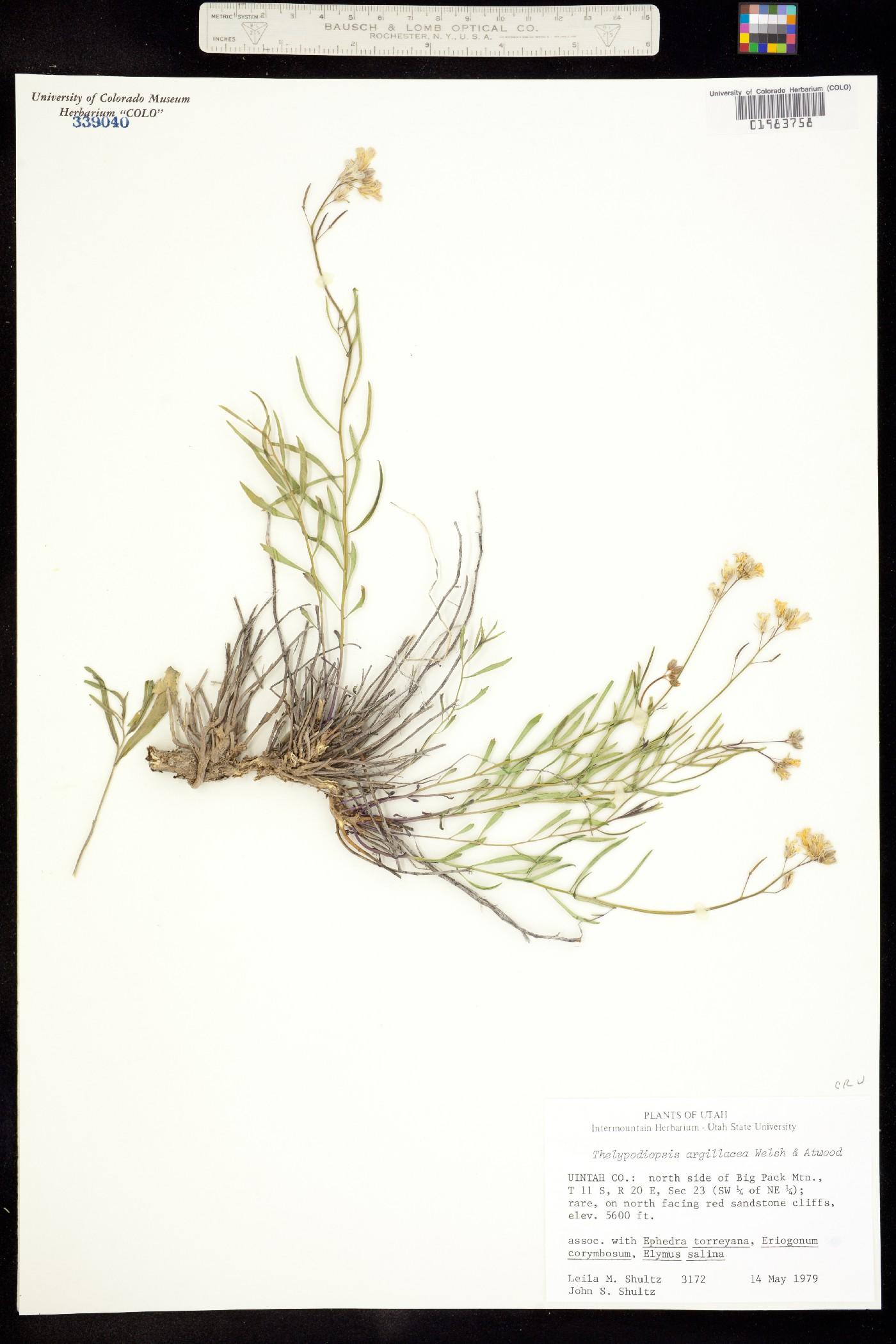 Thelypodiopsis argillacea image