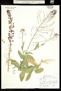 Image of Thelypodiopsis ambigua